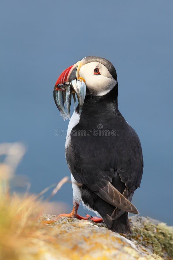 Papagaio-do-mar atlânticos com peixes imagem de stock royalty free