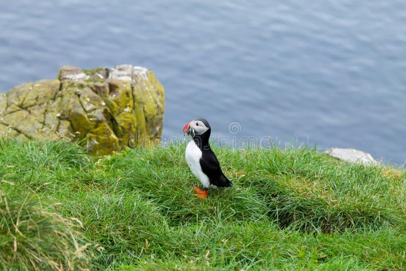 Papagaio-do-mar atl?ntico do fiorde de Borgarfjordur, Isl?ndia do leste imagens de stock