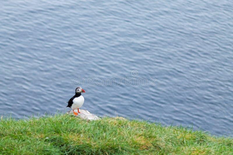 Papagaio-do-mar atl?ntico do fiorde de Borgarfjordur, Isl?ndia do leste foto de stock royalty free