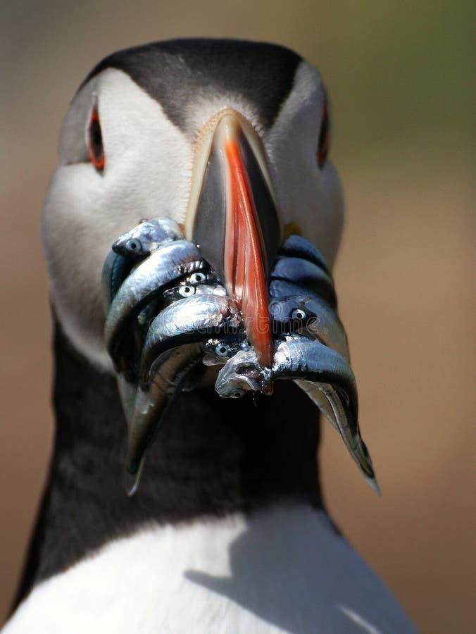 Papagaio-do-mar com o foco ajustado em enguias de areia fotos de stock