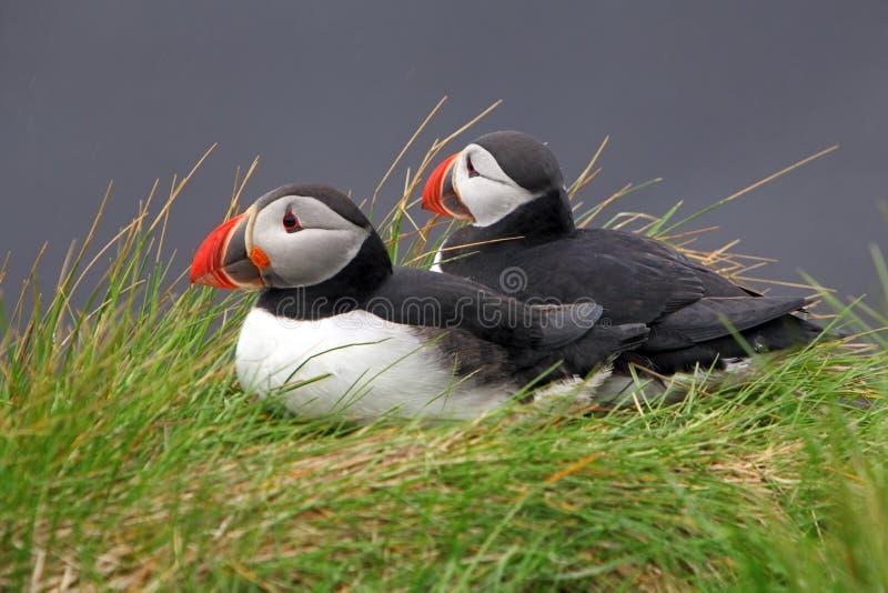 Papagaio-do-mar do pássaro fotos de stock royalty free
