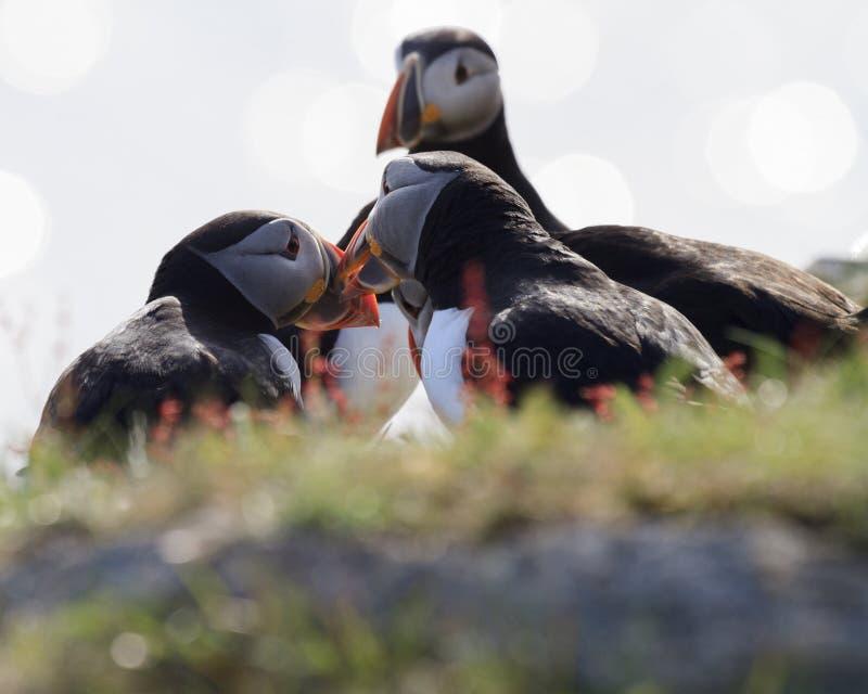 Papagaio-do-mar durante a estação de acoplamento imagem de stock royalty free