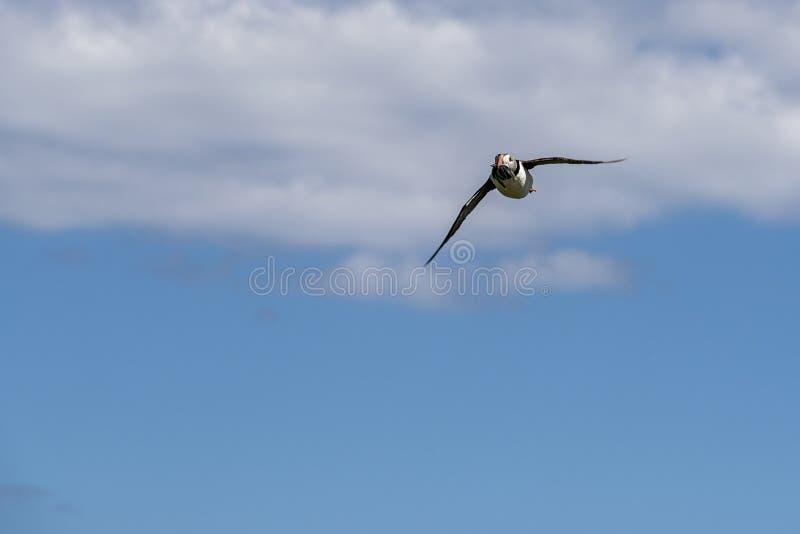 Papagaio-do-mar em voo imagens de stock royalty free