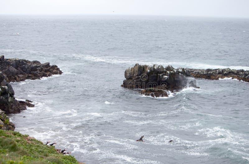 Papagaio-do-mar no penhasco islandês fotografia de stock
