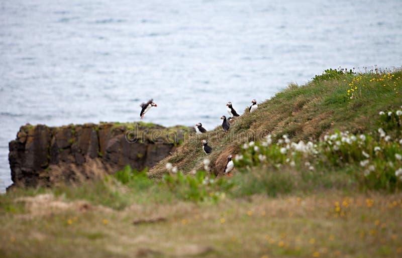 Papagaio-do-mar no penhasco islandês imagem de stock royalty free