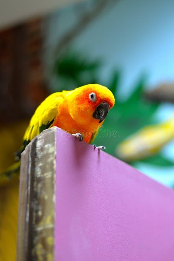Papagaio do pássaro de Sun imagens de stock