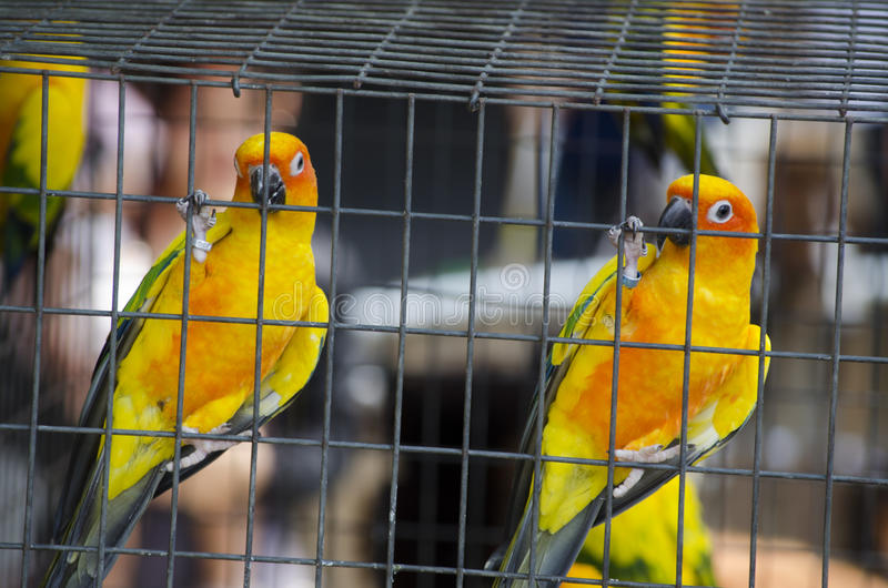 Papagaio do periquito dois na gaiola fotografia de stock