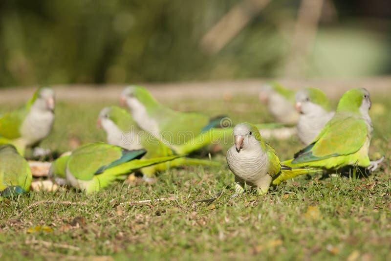 Papagaio do quacre ou Parakeet da monge foto de stock