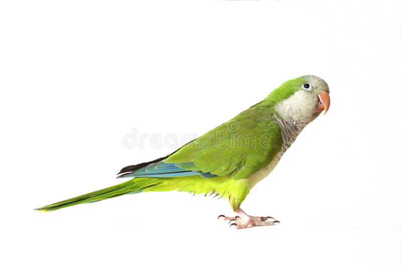Papagaio do Quaker