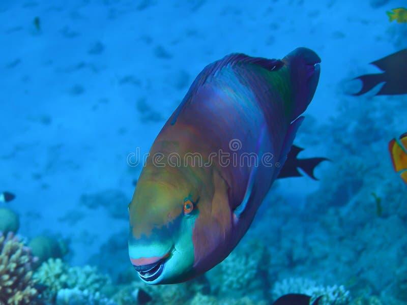 Papagaio dos peixes foto de stock royalty free