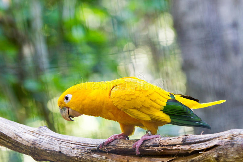 Papagaio dourado do periquito fotos de stock royalty free