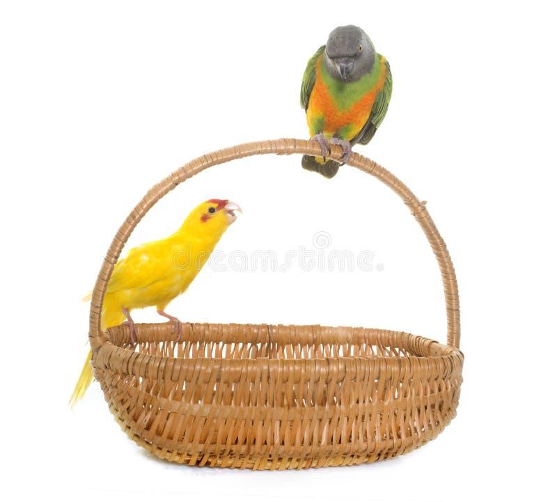 Papagaio e kakariki de Senegal no estúdio fotografia de stock