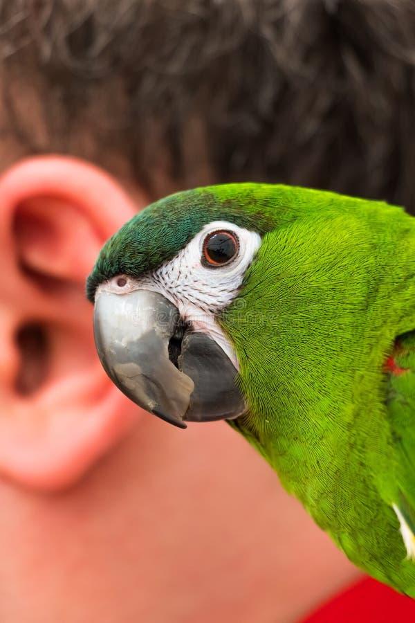 Papagaio e a orelha humana foto de stock