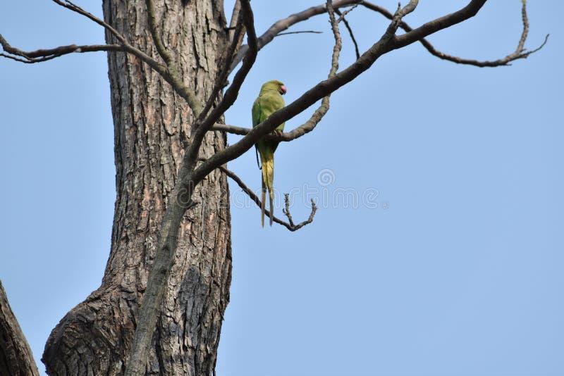 Papagaio em uma árvore despida fotografia de stock royalty free