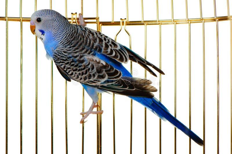 Papagaio em uma gaiola da estrutura imagens de stock