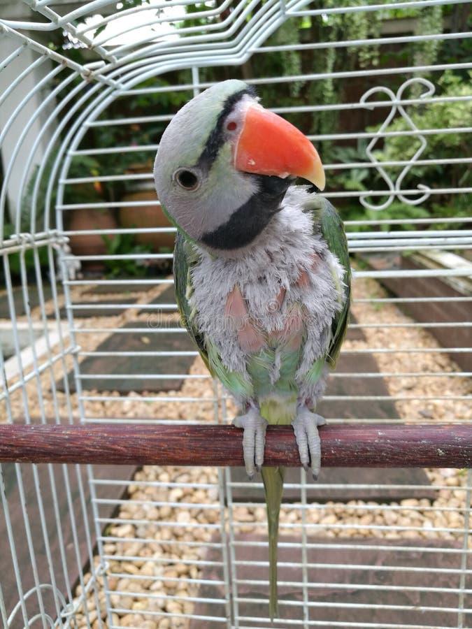Papagaio encantador fotografia de stock royalty free