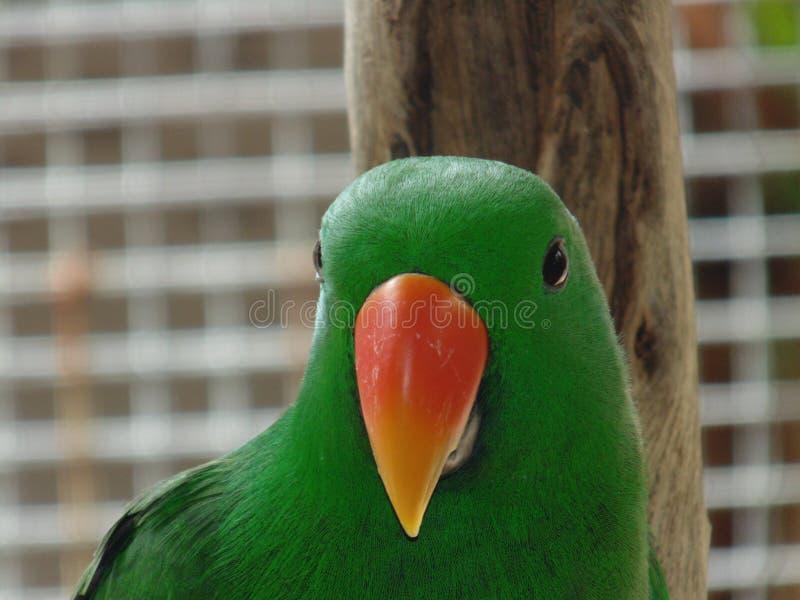 Papagaio encantador fotografia de stock