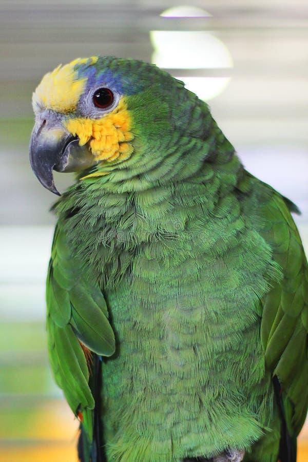 Papagaio grande em uma gaiola foto de stock