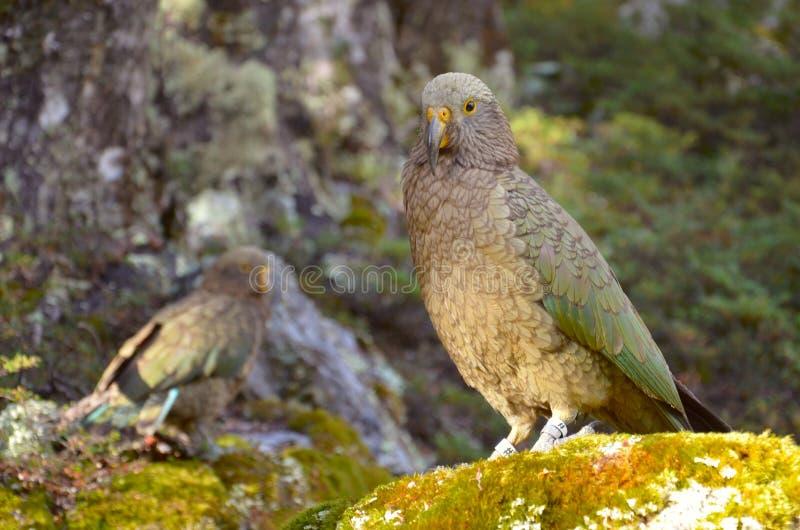 Papagaio Kea (Nestor) imagem de stock royalty free