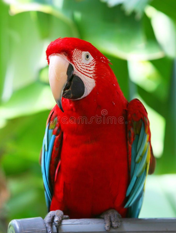 Papagaio - Macaw azul vermelho fotos de stock royalty free