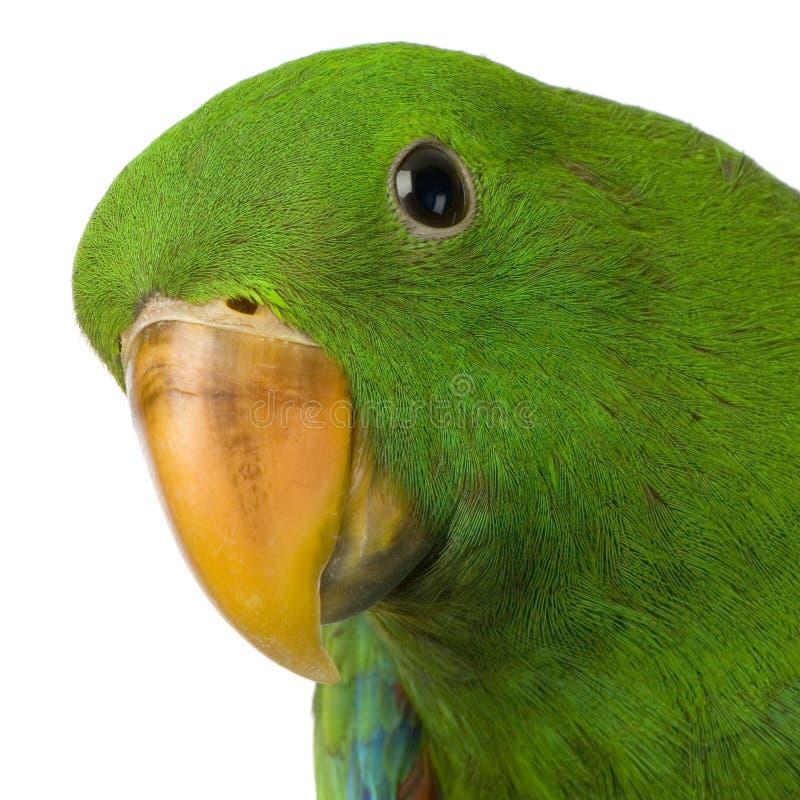 Papagaio masculino de Eclectus fotos de stock