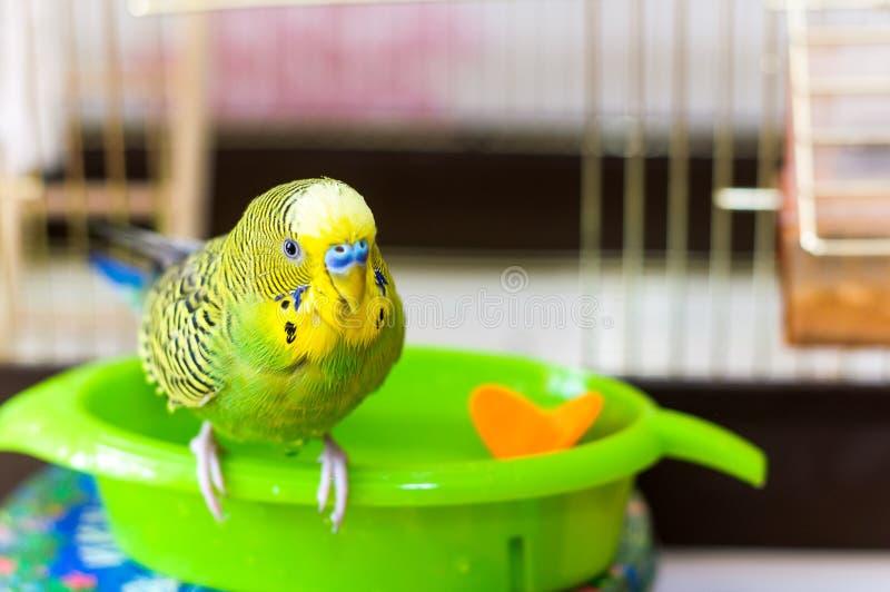Papagaio molhado após nadar fotografia de stock