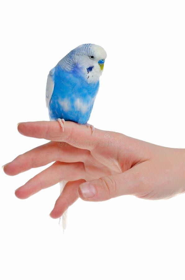 Papagaio na mão fotografia de stock royalty free