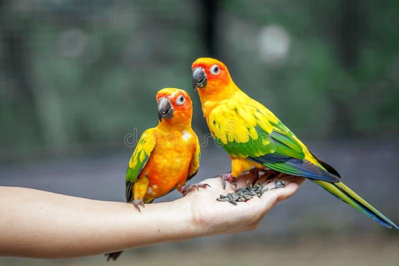 Papagaio na mão da mulher fotos de stock
