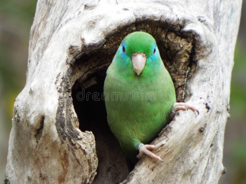 papagaio no furo da árvore fotos de stock