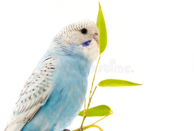 papagaio ondulado azul pequeno no fundo branco fotos de stock royalty free
