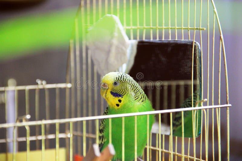 Papagaio ondulado em uma gaiola foto de stock royalty free