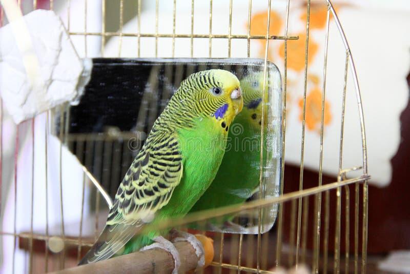 Papagaio ondulado em uma gaiola fotos de stock