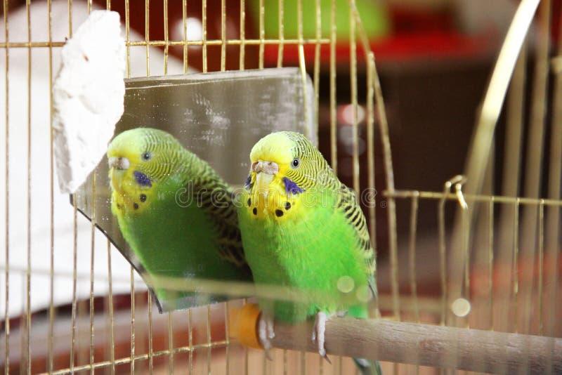 Papagaio ondulado em uma gaiola fotos de stock royalty free