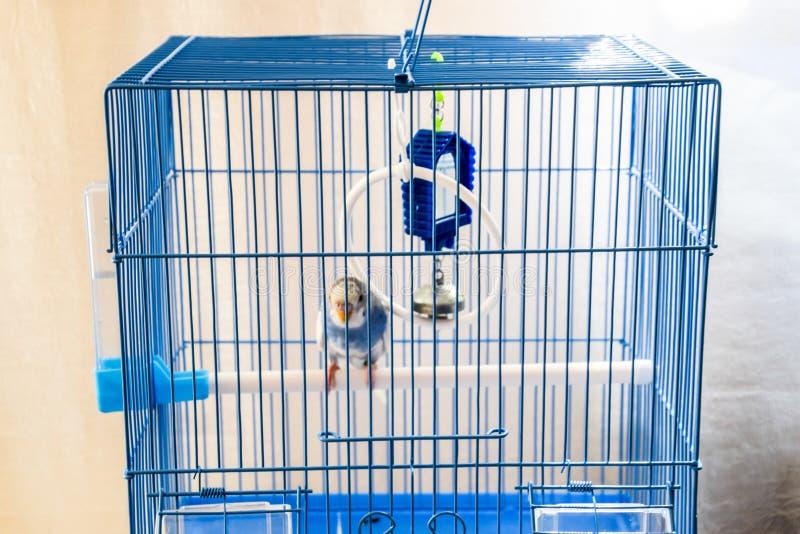 Papagaio ondulado f?mea em uma gaiola imagem de stock