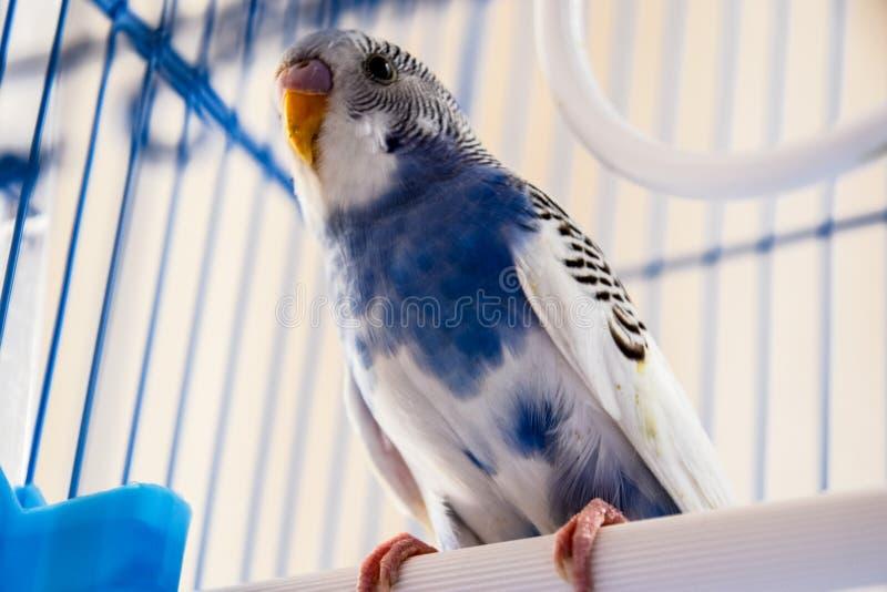 Papagaio ondulado f?mea em uma gaiola fotos de stock royalty free