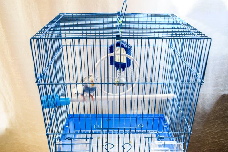 Papagaio ondulado f?mea em uma gaiola fotografia de stock