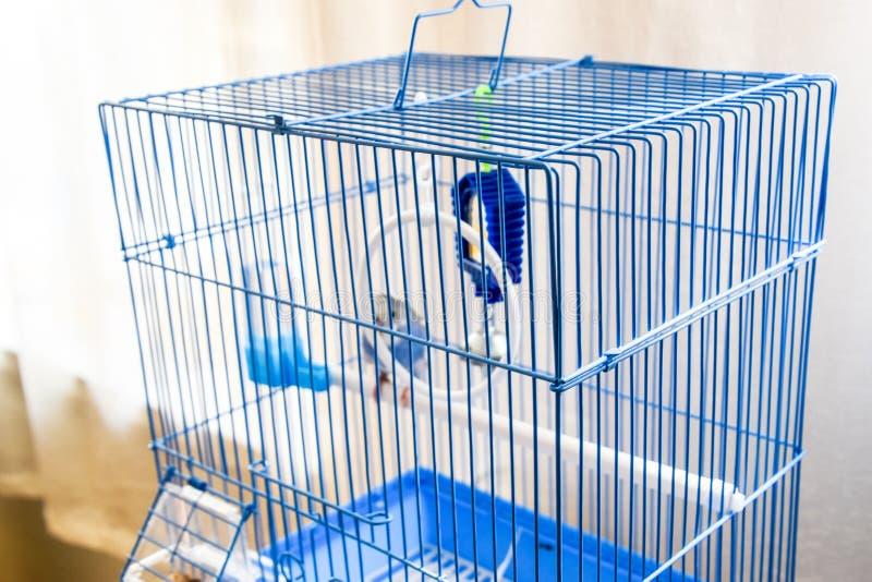 Papagaio ondulado f?mea em uma gaiola imagem de stock royalty free