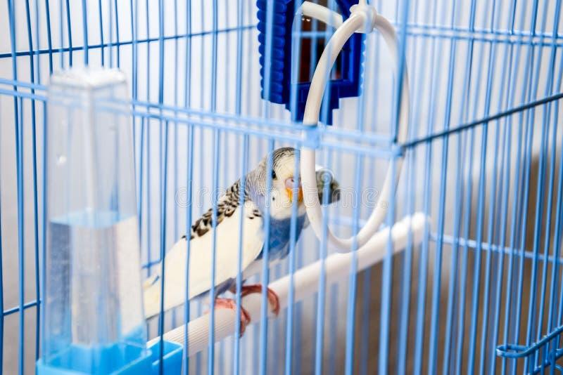 Papagaio ondulado f?mea em uma gaiola foto de stock