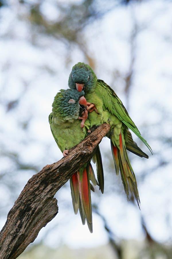 Papagaio pequeno verde no mexicano fotos de stock royalty free
