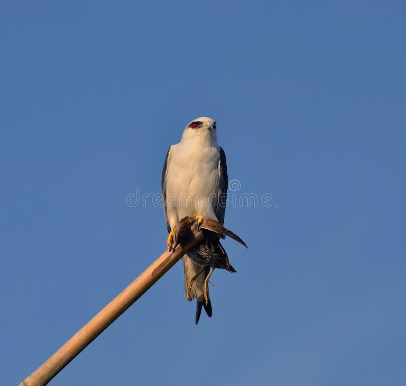 papagaio Preto-empurrado (axillaris do Elanus) fotos de stock