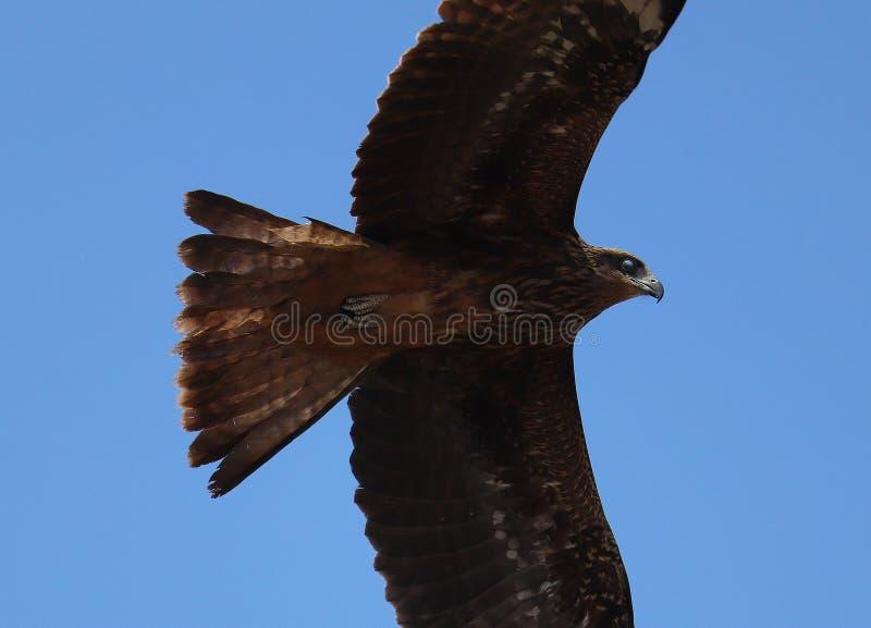 Papagaio preto indiano em voo fotografia de stock