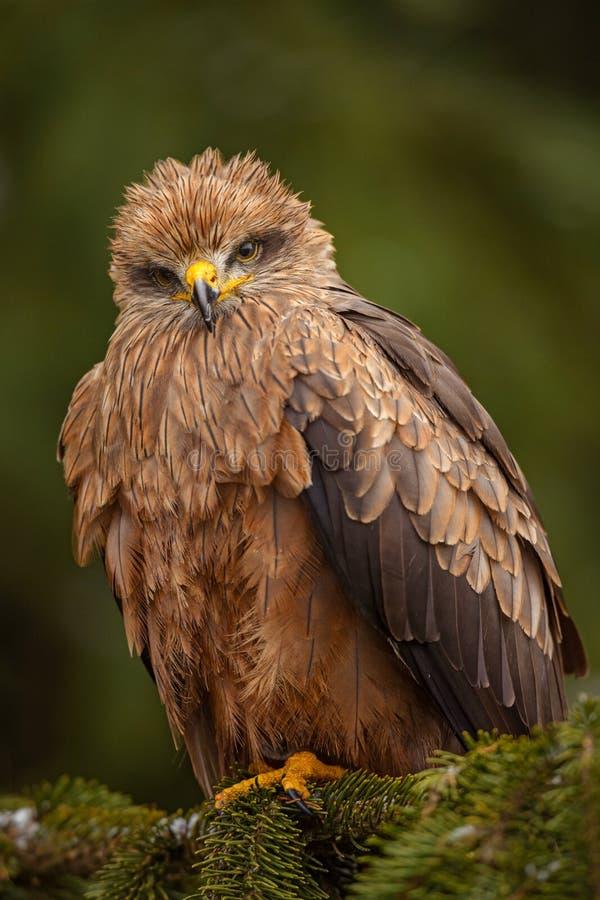 Papagaio preto - migrans de Milvus imagens de stock