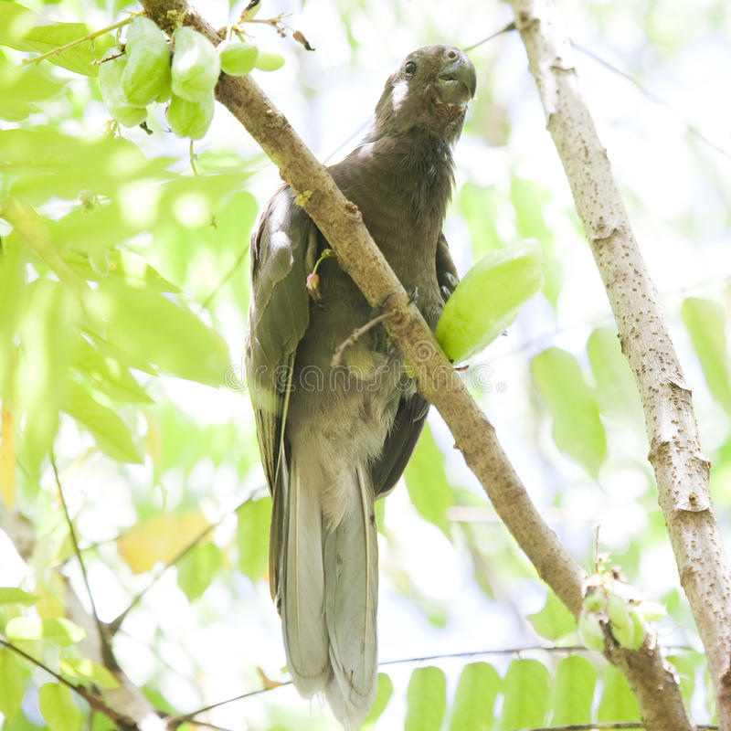 Papagaio preto raro, endêmico foto de stock royalty free