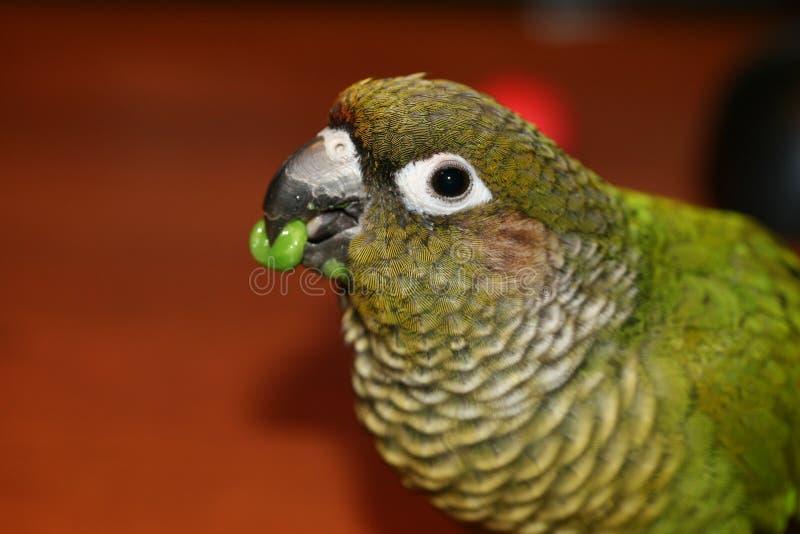 Papagaio que come uma ervilha imagens de stock royalty free
