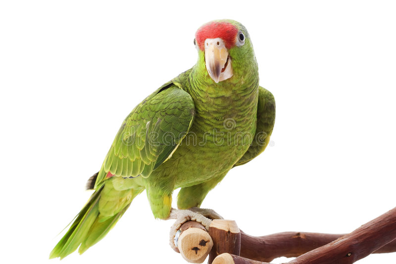 Papagaio Red-headed mexicano de Amazon fotos de stock royalty free