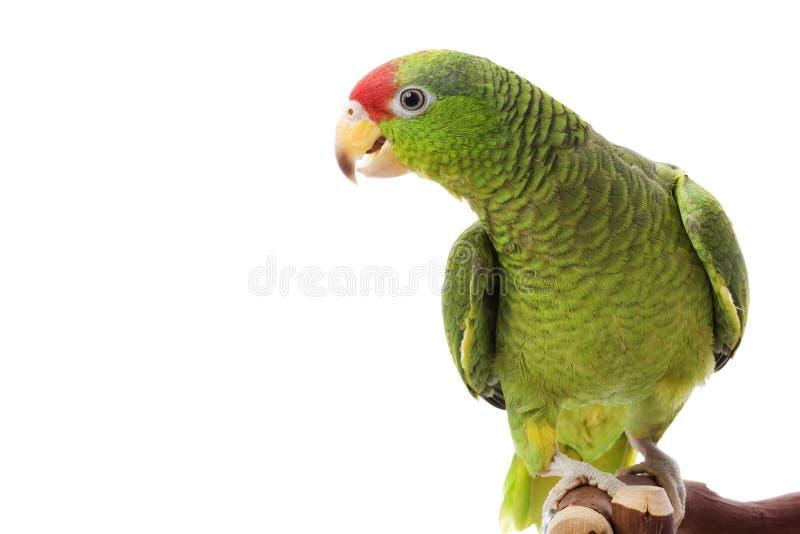 Papagaio Red-headed mexicano de Amazon imagens de stock royalty free