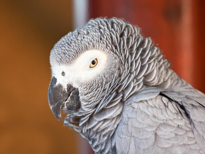 Papagaio sonolento do cinza africano imagem de stock