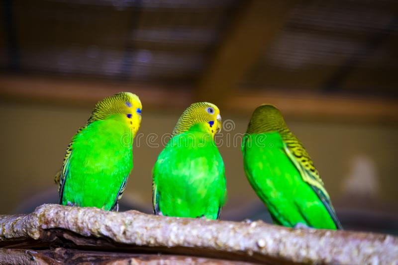 Papagaio três verde-amarelo bonito imagem de stock royalty free
