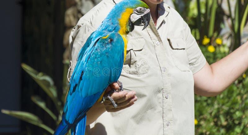 Papagaio treinado bonito da arara na mão de uma mulher imagem de stock