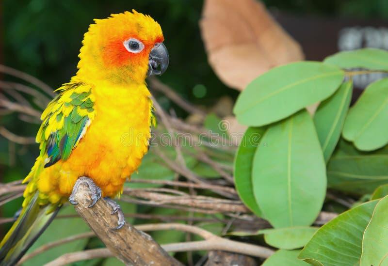 Papagaio tropical foto de stock